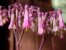 Kalanchoe laetivirens - Mãe de Milhares - Imagem 1