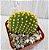 Cacto Opuntia microdasys var. Pallida - AMARELO - Imagem 2