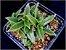 Cyanotis somaliensis (Tradescantia somaliensis) - Imagem 2