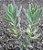 Kalanchoes Rosei serratifolia - Imagem 3