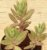 Kalanchoes Rosei serratifolia - Imagem 4