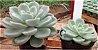 Echeveria White Gilva - Imagem 3