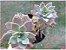 xGraptoveria (sedum) crepúsculo    - Imagem 1