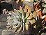 xGraptoveria (sedum) crepúsculo    - Imagem 3