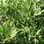 Chá de Artemísia 30 g - Imagem 3