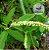 Chá Erva Baleeira 35 g - Imagem 3