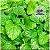 Chá de de Melissa Officinalis 20 g - Imagem 3