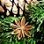 Chá de Anis Estrelado 60 g - Imagem 3