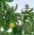 Chá Graviola 30 g - Imagem 3
