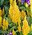 Celósia Plumosa Amarela: 15 Sementes - Imagem 8
