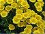 Margaridinha Amarela: 20 Sementes - Imagem 8