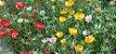 Portulaca Singela Sortida: 100 Sementes - Imagem 6
