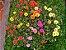Portulaca Dobrada Sortida: 100 Sementes - Imagem 4