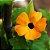 Thumbergia (Amarelinha): 10 Sementes - Imagem 5