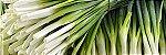 Cebolinha Evergreen ORGÂNICO: 20 Sementes - Imagem 9