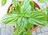 Manjericão Italian Large Leaf ORGÂNICO: 20 Sementes - Imagem 1