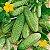 Pepino Calypso ORGÂNICO: 20 Sementes - Imagem 1