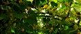 Pepino Limão (Lemon): 15 Sementes - Imagem 10