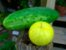 Pepino Limão (Lemon): 15 Sementes - Imagem 4