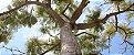 Guapuruvu (Schizolobium parahyba): 3 Sementes - Imagem 6
