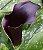 Copo de Leite Negro (Odessa): 10 Bulbos - Imagem 6