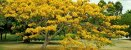 Flamboyant Amarelo - Delonix regia sp. - 5 Sementes - Imagem 3