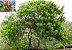 Aroeira Pimenteira - Schinus terebinthifolius Raddi - 20 Sementes - Imagem 2