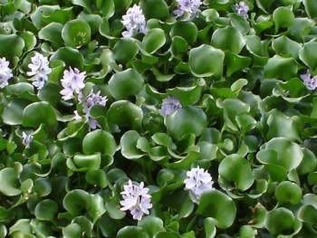 Aguapé - Eichhornia crassipes
