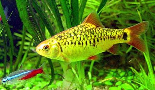 Barbo ouro - Puntius sachsii