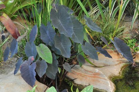 Inhame Preto - Colocasia Esculenta