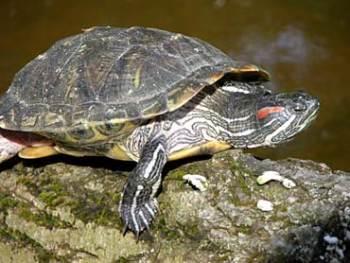 Tartaruga de orelha vermelha - Trachemys scripta elegans