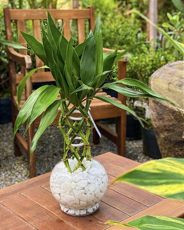 Bambu da Sorte Luxo vidro
