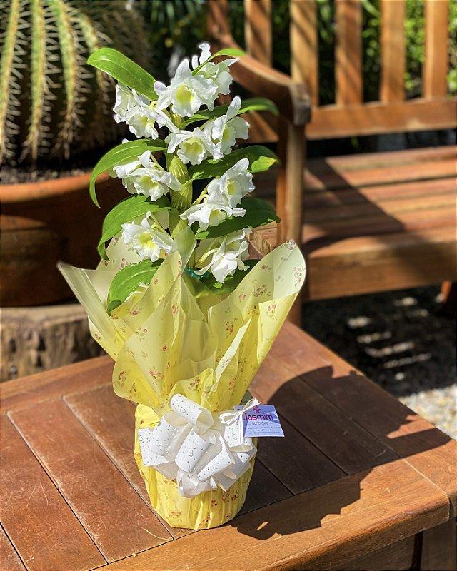 Orquidea Dendrobium Branca