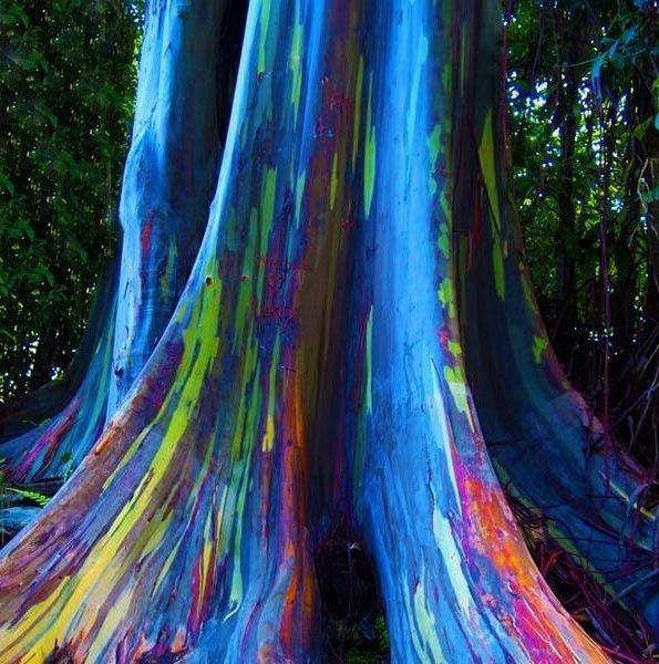 Eucalipto arco ris tronco multi cores mudas jardim for Pintura color albero