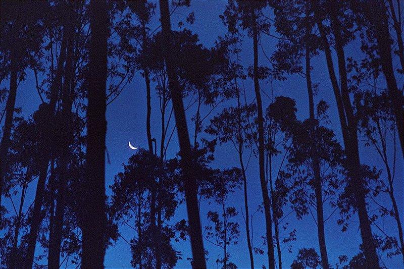 95 Fotografia . A Lua e os Eucaliptos . Danilo Zamboni