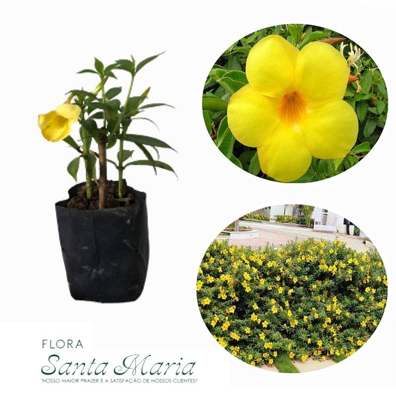 Mini Alamanda Amarela - Saquinho
