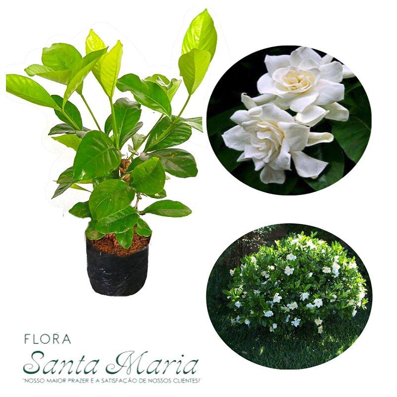 Gardênia - Gardenia jasminoides