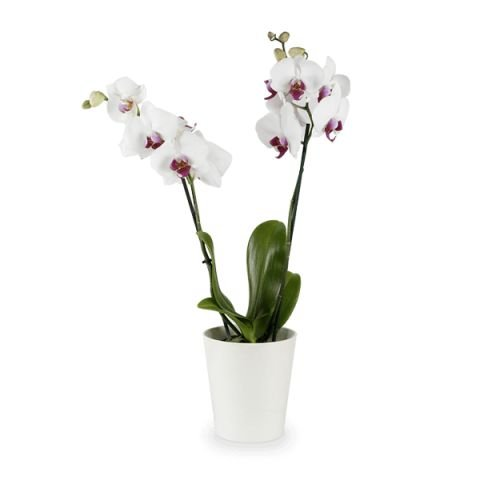 Orquídea Phaleanopsis Branca - White Orchid
