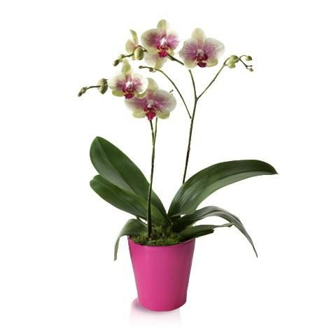 Orquídea Phaleanopsis Tigre