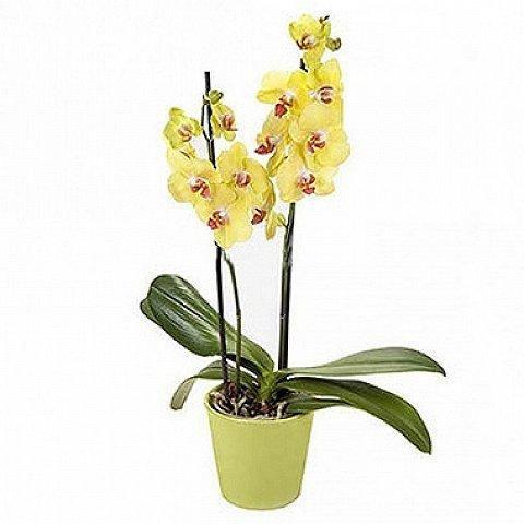 Orquídea Phaleanopsis Amarela - Yellow Orchid
