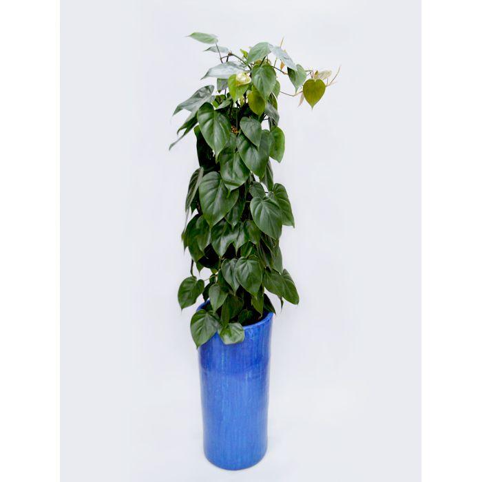 Cilindro com Philodendron